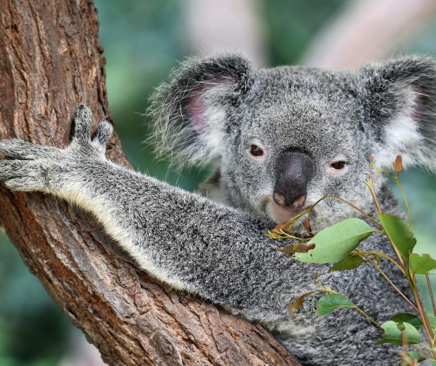 Koala Habitat Protection 2019